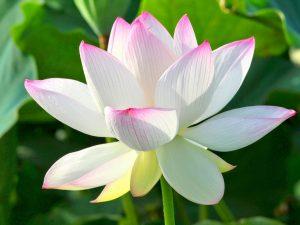Sen trắng viền hồng