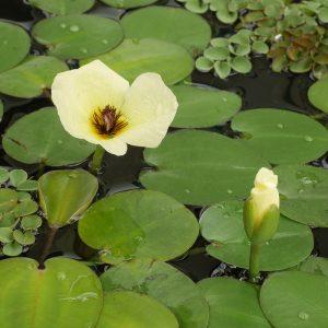 Cây thủy quỳnh cho hoa vào mùa hè, và lâu tàn