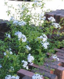Cây còn được gọi là đuôi công hoa trắng