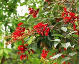 Cây có tên gọi khác là cây móng quỷ hay hoàng hậu đỏ