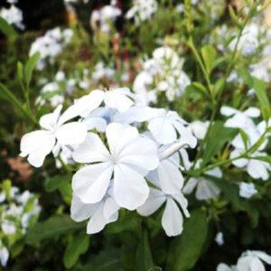 Cây hoa bạch xà