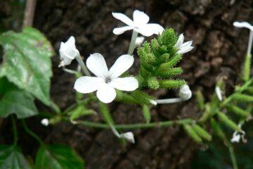 Cây hoa bạch xà – Nàng bạch tuyết giữa rừng hoang