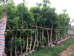 Cây chủ yếu trồng bằng cách triết hoặc giâm cành mang lại hiệu quả cao hơn