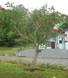 Cây osaka trồng trang trí sân vườn cảnh quan