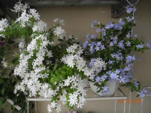 Cây hoa thanh xà và bạch xà