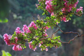 Cây hoa Tường Vi – Loài hoa chân quê mỏng manh
