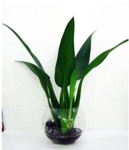 Cây có thể trồng trên đất hoặc thủy canh đều phát triển tốt
