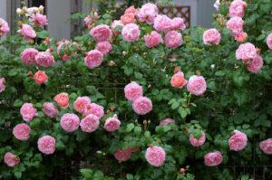 Nước hoa hồng rất phổ biến hiện nay