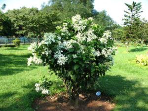 Cây én bác (bướm bạc) trồng trang trí sân vườn.
