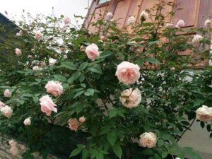 Hồng Pháp phát triển khá tốt và sai hoa, hoa thơm