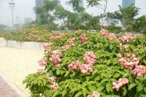 Cây cho ra nhiều hoa và những lá bắc màu hồng còn hoa màu vàng