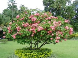Cây hoa bướm hồng