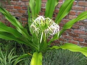 Cây Tỏi Voi hay Lá Náng có hoa to, thơm và lâu tàn