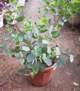 Cây lá bạc trồng chậu