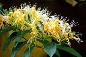 Hoa kim ngân còn gọi là cây vàng bạc vì sáng màu bạc, chiều chuyển vàng