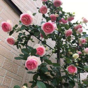 Cây hoa hồng leo có nhiều màu khác nhau: trắng, hồng, vàng, đỏ,...