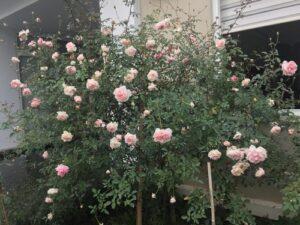 Cây hồng đào cổ hay còn gọi là hồng Pháp hay hồng phấn