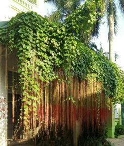 Dây tơ hồng Thái chõ rễ rất xum xuê