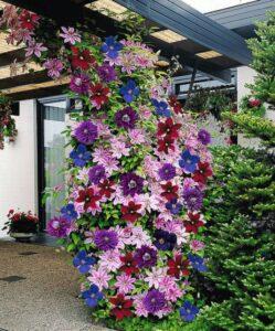 Hoa Ông Lão trồng leo cột thành giàn nở hoa rất bắt mắt