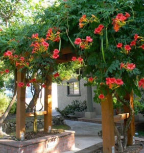 Cây hoa đăng tiêu trồng làm hàng rào, cổng