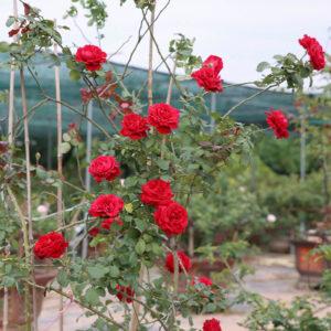 Hồng leo đỏ