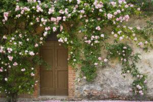 Cây hồng dây dang trí trước cửa nhà
