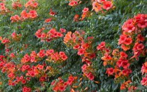 Cây hoa lan tiêu hay còn gọi là lăng tiêu cho hoa thành từng chùm, mỏng manh hình chuông
