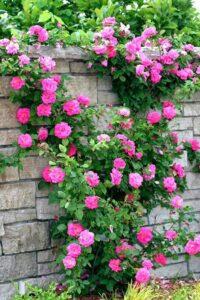 Cây hoa Hồng leo rất sai hoa