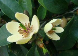 Cây hoa hàm tiếu hay còn gọi là dạ hợp hương