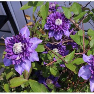 Cây hoa ông lão có nhiều màu sắc, hoa có dạng đơn và kép