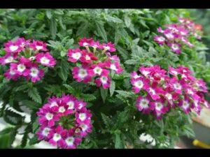 Cây cúc indo có nhiều màu hoa khác nhau, sức sống và phát triển tốt với khí hậu VN
