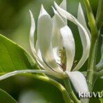 Hoa ngọc lan
