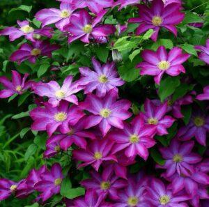 Cây hoa ông lão thân leo và cho hoa rực rỡ, thơm nồng