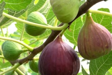 Cây Sung Mỹ – Sung ngọt giàu dinh dưỡng