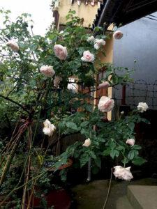 Cây có hoa to, rất thơm