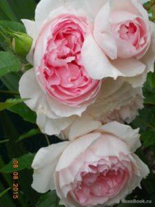 Những giống hồng David Austin đẹp nhất