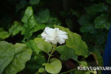 Tác hại của hoa nhài trắng, lưu ý khi sử dụng hoa nhài
