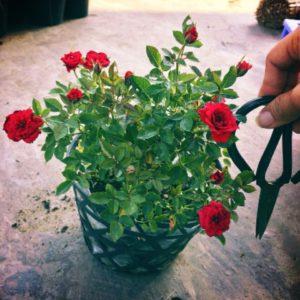 Chậu cây hoa hồng tỉ muội trang trí