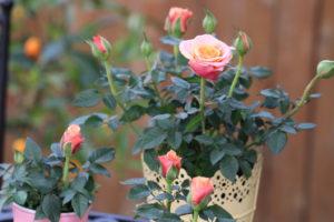 Chậu câu hoa hồng tỉ muội