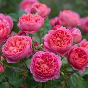hồng Boscobel