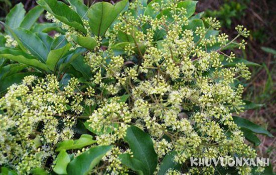 Hoa cây ngũ gia bì