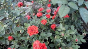Nhân giống hoa hồng tỉ muội bằng phương pháp giâm cành