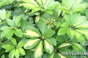 Cây ngũ gia bì bị vàng lá, rụng lá, nguyên nhân và cách xử lý