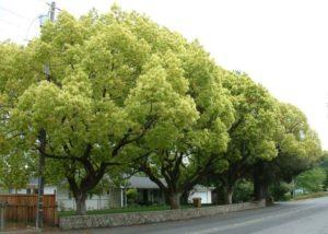 Dã Hương trồng làm cây đô thị tạo bóng mát cải tạo không khí rất tốt