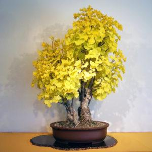 Cây ngân hạnh bonsai