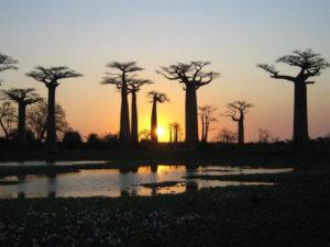 Cây Bao Báp có nhiều loại, chủ yếu ở Châu Phi