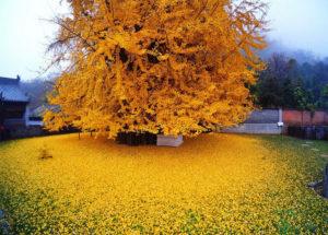 Cây rất cuốn hút ánh nhìn bởi màu vàng đặc trưng khi thu về