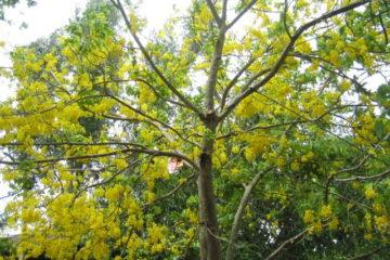 Cây Hoàng Lan – Nguồn sức sống tràn trề, mạnh mẽ