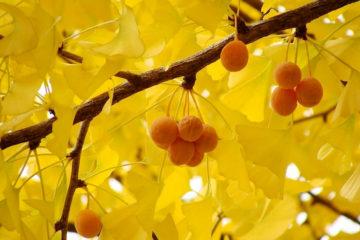 Cây Ngân Hạnh – Cây Rẻ Quạt hay cây Bạch Quả