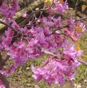 Hoa cây đông rũ rất sai và mọc từ thân